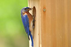Αρσενικά φέρνοντας τρόφιμα Bluebird για να τοποθετηθεί το κιβώτιο στοκ φωτογραφία με δικαίωμα ελεύθερης χρήσης