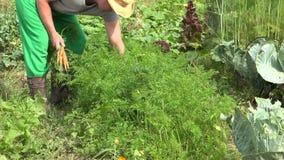 Αρσενικά φρέσκα οργανικά καρότα συγκομιδής επιλογής ατόμων αγροτών στο αγρόκτημα 4K φιλμ μικρού μήκους