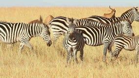 Αρσενικά Impalas και Zebras απόθεμα βίντεο