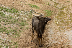Αρσενικά nyalas που φαίνονται κάτι Στοκ Εικόνα