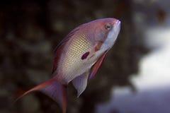 αρσενικά squamipinnis pseudanthias ψαριών Στοκ Εικόνες
