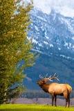 Αρσενικές άλκες που για τα κορίτσια του στο μεγάλο εθνικό πάρκο Teton στοκ φωτογραφία