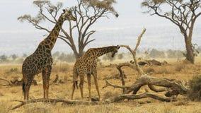 Αρσενικές giraffe στάσεις πίσω από ένα θηλυκό στο amboseli στοκ εικόνα με δικαίωμα ελεύθερης χρήσης