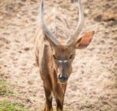 Αρσενική αντιλόπη Nyala (angasii Tragelaphus) Στοκ φωτογραφία με δικαίωμα ελεύθερης χρήσης