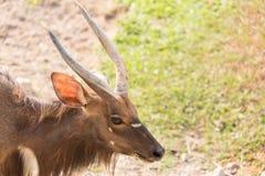 Αρσενική αντιλόπη Nyala (angasii Tragelaphus) Στοκ Φωτογραφίες
