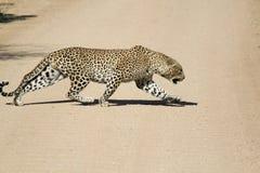 Αρσενική αφρικανική καταδίωξη λεοπαρδάλεων Στοκ Εικόνες