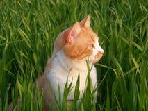 Αρσενική γάτα στη χλόη Στοκ φωτογραφία με δικαίωμα ελεύθερης χρήσης