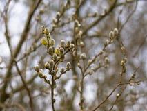 Αρσενική ιτιά catkins, εκλεκτική εστίαση Salix Στοκ Φωτογραφία