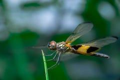 Αρσενική κίτρινος-ριγωτή λιβελλούλη flutterer Στοκ Φωτογραφία