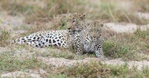 Αρσενική και θηλυκή λεοπάρδαλη που συγκεντρώνεται για το ζευγάρωμα στη φύση στοκ εικόνα