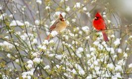 Αρσενικό και θηλυκό redbird που περιβάλλονται με το χιόνι. Στοκ Εικόνες