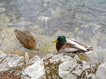 Αρσενική και θηλυκή χαλάρωση παπιών πρασινολαιμών στην ακτή λιμνών του εθνικού πάρκου λιμνών Plitvice Στοκ φωτογραφίες με δικαίωμα ελεύθερης χρήσης