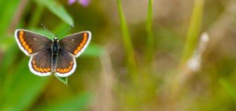 Αρσενική καφετιά πεταλούδα Argus Στοκ Εικόνα
