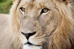 Αρσενική κινηματογράφηση σε πρώτο πλάνο λιονταριών Στοκ Φωτογραφίες
