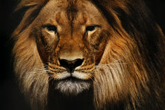Αρσενική κινηματογράφηση σε πρώτο πλάνο λιονταριών Στοκ φωτογραφία με δικαίωμα ελεύθερης χρήσης