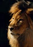 Αρσενική κινηματογράφηση σε πρώτο πλάνο λιονταριών Στοκ Εικόνες