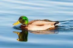 Αρσενική κολύμβηση παπιών πρασινολαιμών Στοκ φωτογραφίες με δικαίωμα ελεύθερης χρήσης