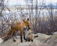 Αρσενική κόκκινη αλεπού που σπρώχνει με τη μουσούδα νέο cub επί του τόπου κρησφύγετων στοκ εικόνες