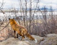 Αρσενική κόκκινη αλεπού στο ρολόι για να προστατεύσει το κρησφύγετο στοκ φωτογραφία με δικαίωμα ελεύθερης χρήσης