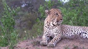 Αρσενική λεοπάρδαλη σε ένα ανάχωμα που κοιτάζει γύρω απόθεμα βίντεο