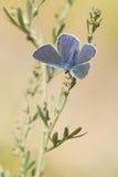 Αρσενική μπλε ένωση πεταλούδων του Ικάρου με τα φτερά ανοικτά Στοκ φωτογραφίες με δικαίωμα ελεύθερης χρήσης