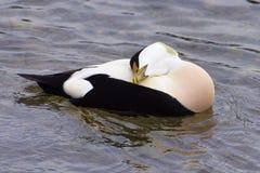 Αρσενική πάπια πουπουλοπαπιών που στηρίζεται, λίμνη Ζυρίχη Στοκ Εικόνα