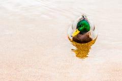 Αρσενική πάπια πρασινολαιμών που επιπλέει στη λίμνη Στοκ φωτογραφία με δικαίωμα ελεύθερης χρήσης