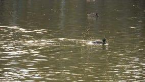 Αρσενική πάπια πρασινολαιμών στη λίμνη απόθεμα βίντεο