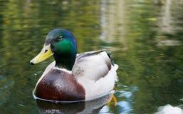 Αρσενική πάπια πρασινολαιμών Στοκ Φωτογραφίες