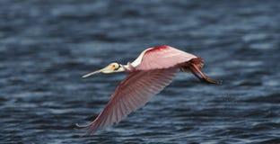 Αρσενική πλαταλέα ροζέτων κατά την πτήση Στοκ Εικόνες