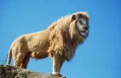 αρσενική στάση λιονταριών Στοκ Φωτογραφίες