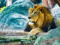 Αρσενική συνεδρίαση λιονταριών στους βράχους που κοιτάζουν επίμονα στον ορίζοντα στοκ εικόνα με δικαίωμα ελεύθερης χρήσης