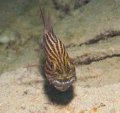 Αρσενική τίγρη cardinalfish σε έναν τροπικό σκόπελο Στοκ Εικόνα