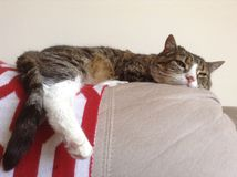 Αρσενική τιγρέ γάτα Στοκ φωτογραφία με δικαίωμα ελεύθερης χρήσης