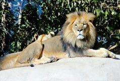 Αρσενική τοποθέτηση λιονταριών στοκ φωτογραφία με δικαίωμα ελεύθερης χρήσης