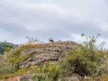 Αρσενική υψίπεδο ή χήνα Magellan, picta Chloephaga, στο βράχο στη σειρά στοκ εικόνα με δικαίωμα ελεύθερης χρήσης