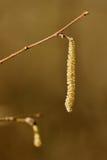 Αρσενική φουντουκιά catkins Στοκ φωτογραφία με δικαίωμα ελεύθερης χρήσης