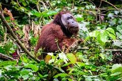 Αρσενική Orangutan συνεδρίαση στα δέντρα Στοκ Εικόνες