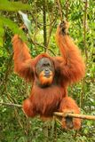 Αρσενική orangutan Sumatran συνεδρίαση abelii Pongo σε ένα μπαμπού σε Gu Στοκ Φωτογραφίες