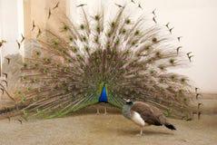 αρσενική peacock ουρά φτερών Στοκ εικόνα με δικαίωμα ελεύθερης χρήσης