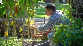 Αρσενικοί έλεγχος ατόμων αγροτών και ποιότητα επιθεώρησης των εγκαταστάσεων των οργανικών ντοματών στον τομέα κήπων Συγκομιδή ντο φιλμ μικρού μήκους