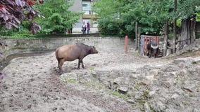 Αρσενικοί και θηλυκοί δασικοί βούβαλοι στο ζωολογικό κήπο της Βουδαπέστης απόθεμα βίντεο