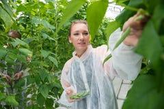 Αρσενικοί και θηλυκοί ερευνητές που επιλέγουν τα φρέσκα πράσινα φασόλια στο greenho Στοκ εικόνα με δικαίωμα ελεύθερης χρήσης