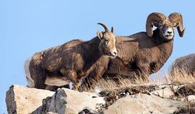 Αρσενικοί και θηλυκοί κριοί βουνών στοκ εικόνες