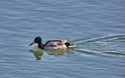 Αρσενικοί πρασινολαίμες σε έναν ποταμό Στοκ Φωτογραφία