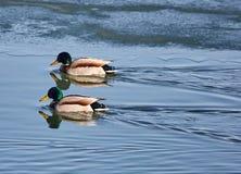 Αρσενικοί πρασινολαίμες σε έναν ποταμό Στοκ φωτογραφία με δικαίωμα ελεύθερης χρήσης