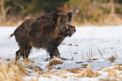 Αρσενικός άγριος κάπρος στο χιόνι Στοκ Εικόνες