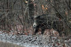 Αρσενικός άγριος κάπρος Στοκ φωτογραφίες με δικαίωμα ελεύθερης χρήσης