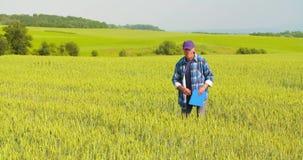 Αρσενικός αγρότης που αναλύει το σίτο κάνοντας την έκθεση απόθεμα βίντεο