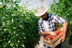 Αρσενικός αγρότης που επιλέγει τις φρέσκες ντομάτες από τον κήπο θερμοκηπίων του Στοκ Φωτογραφία